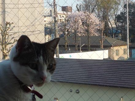 桜が後ろで咲いてる凛