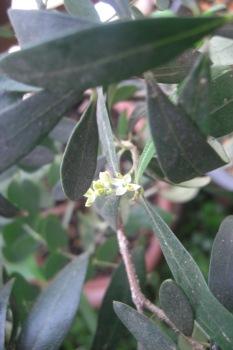 オリーブのお花