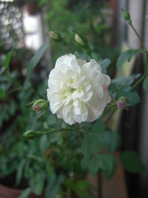グリーンアイス開花
