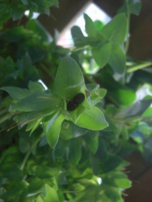 セリンセの種