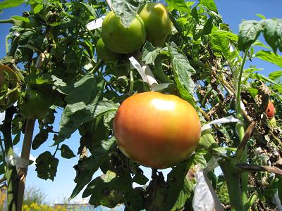 太陽の果実