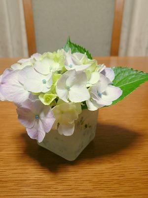 080624紫陽花