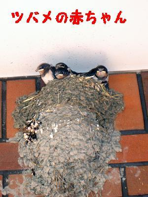 つばめのヒナ4羽