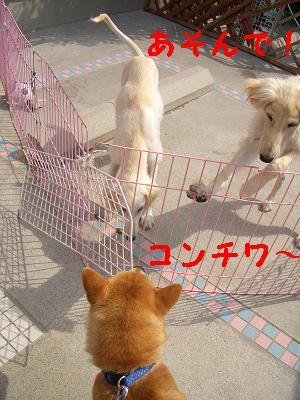 サルーキの子犬