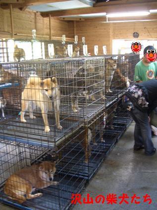 犬舎(柴犬がいっぱい)
