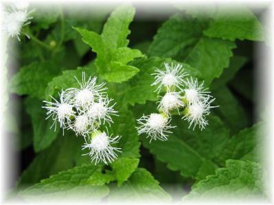 2011年10月25日白い花