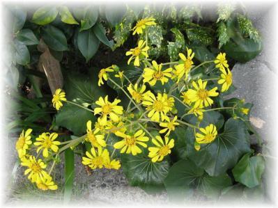 2011年11月8日ツワブキの花