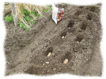2012年3月3日ジャガイモ植え付け