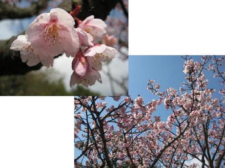 2012年3月13日桜