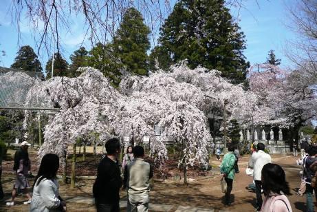 樹齢180年の枝垂桜と花見客