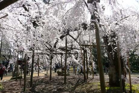 反対側からの枝垂桜