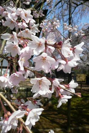 可愛い枝垂桜