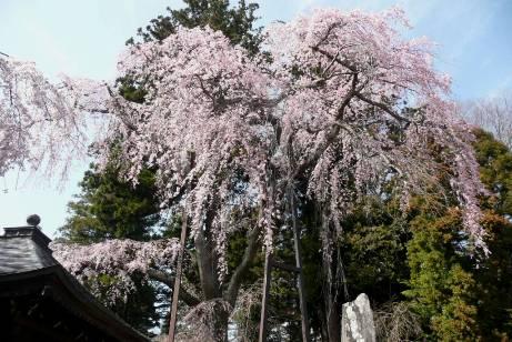 墓地側の枝垂桜