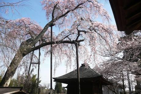堂と枝垂桜