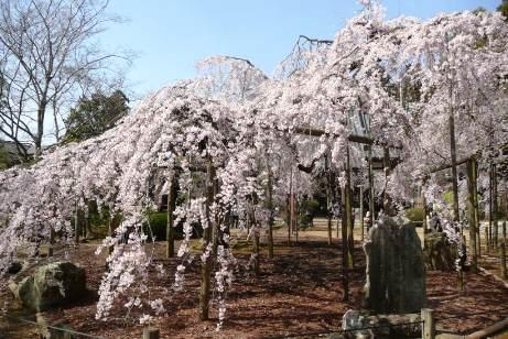 立派な枝垂桜