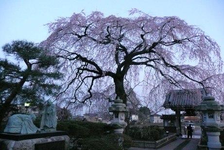 夕刻の枝垂桜