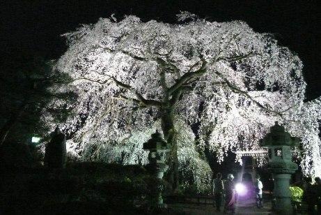 ライトアップされた枝垂桜