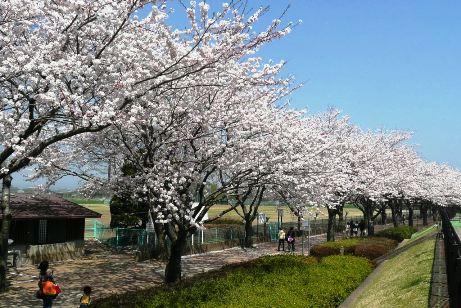 グランド脇の桜並木