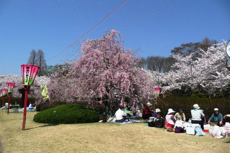 枝垂桜の下で宴会