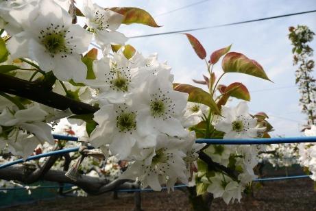 可愛い梨の花