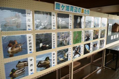 霞ヶ浦周辺の鳥たち
