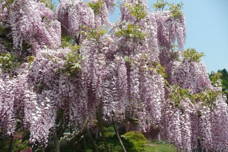 ピンク色の藤の花