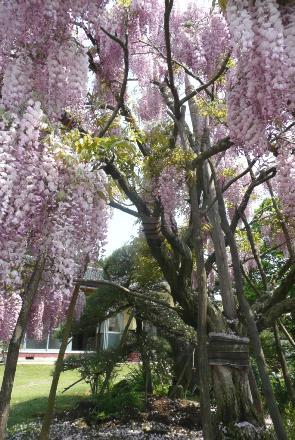 樹齢100年以上の立派な幹
