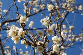 咲いた梅_0546
