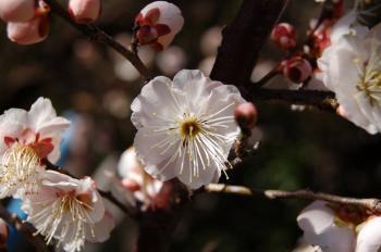 梅の花_0556