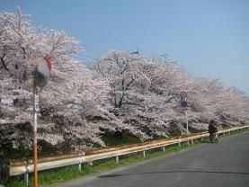桜並木 群津