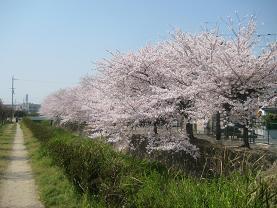 桜並木 交野