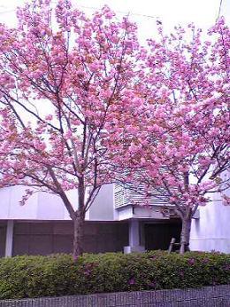 交野市駅前の八重桜
