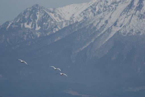 大山をバックに飛ぶ白鳥