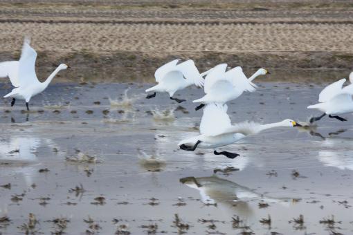 安曇野の白鳥'09.03.20-2