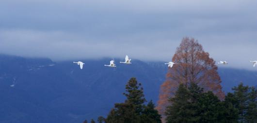 安曇野の白鳥'09.03.20-3