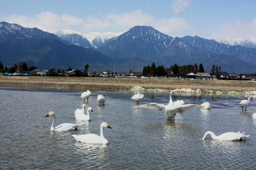 安曇野の白鳥'09.03.23-1