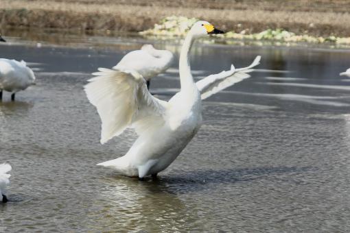 安曇野の白鳥'09.03.23-2