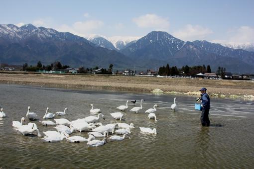 安曇野の白鳥'09.03.23-3
