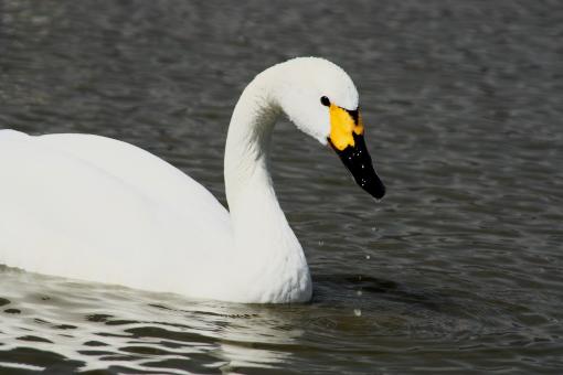 白鳥'09.03.23-2