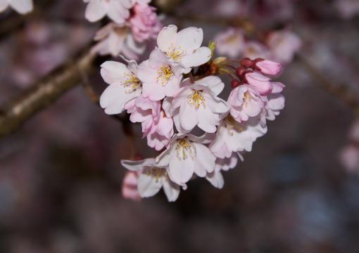 屋島の桜'09.04.02