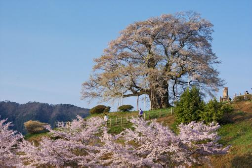 醍醐桜'09.04.13-1