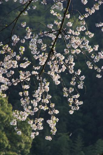 醍醐桜'09.04.13-2
