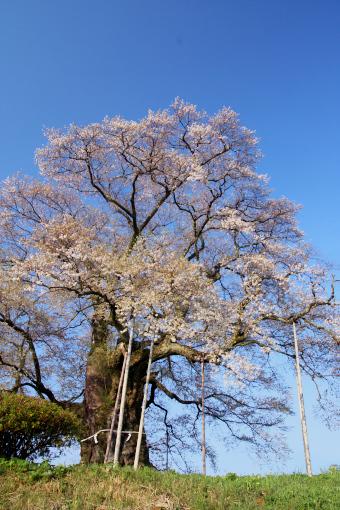 醍醐桜'09.04.13-3