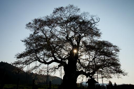 醍醐桜'09.04.13-4