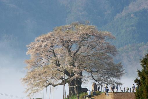醍醐桜'09.04.13-5