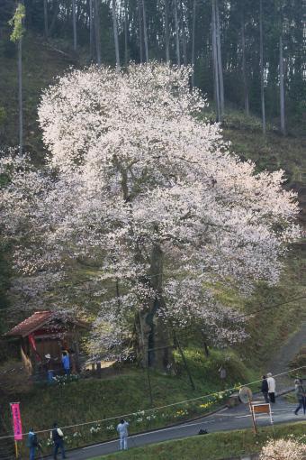 岩井畝の大桜'09.04.13-3