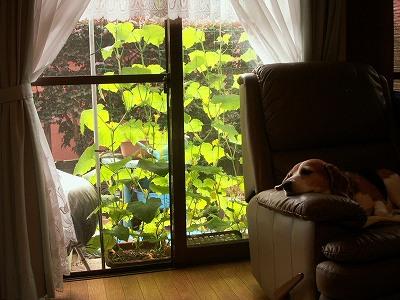 胡瓜のカーテン