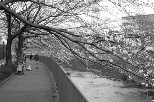 090331成瀬の桜1
