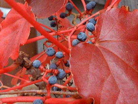 実家の赤い葉っぱ