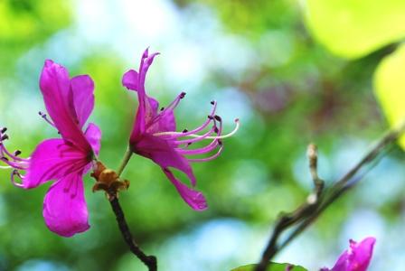 トウゴクミツバツツジの雄しべ